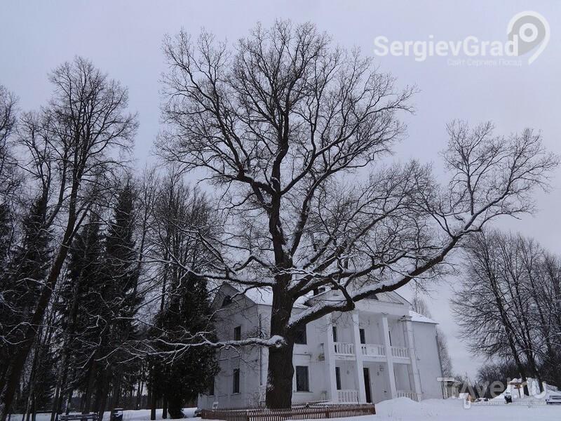 Абрамцевский дуб зимой