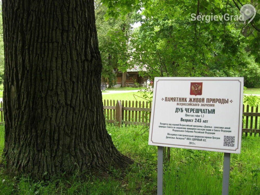 Вековой дуб из Абрамцево