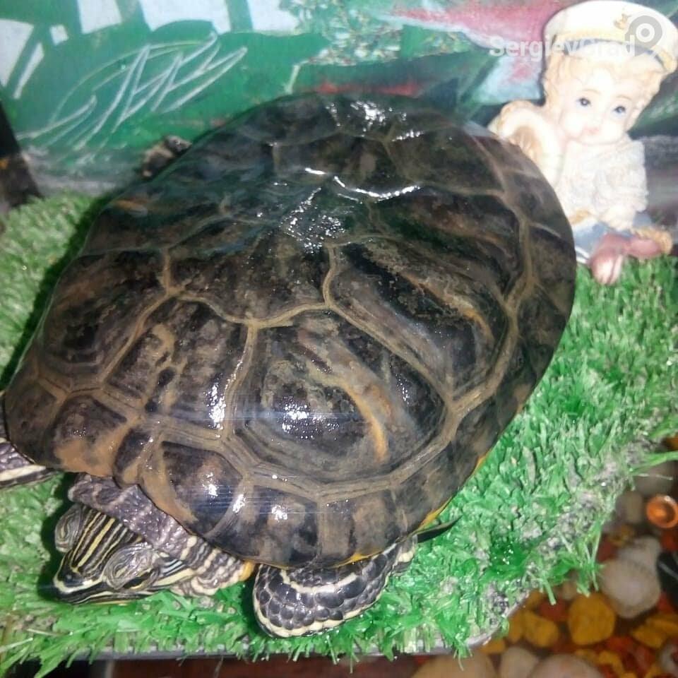 Участница конкурса «Верный друг» черепашка Айсидора