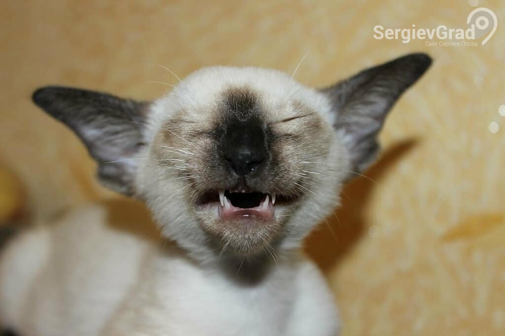 Участница конкурса «Верный друг» кошка Хохотушка