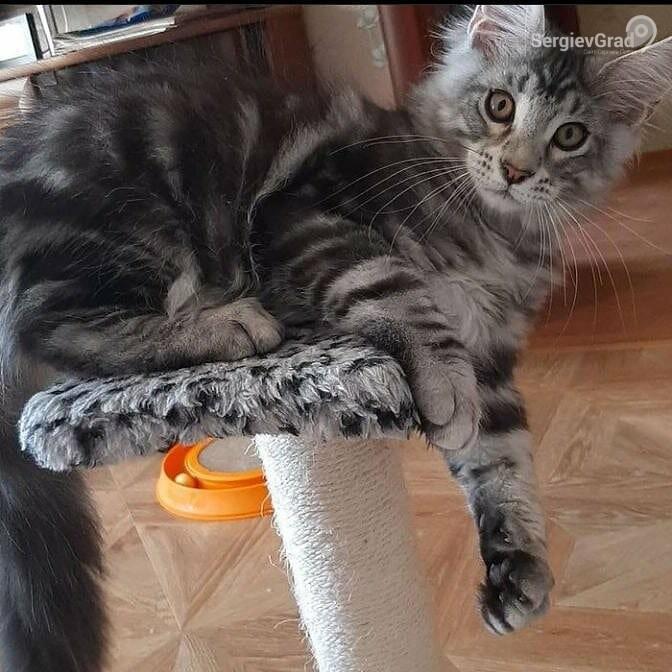 Участник конкурса «Верный друг» кот Зевс