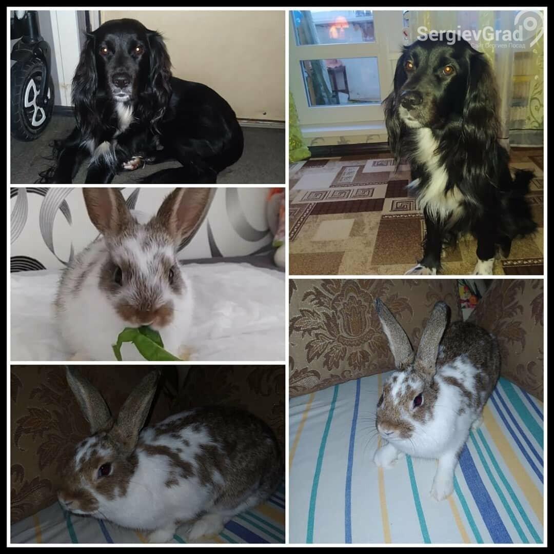 Участники конкурса «Верный друг»: кокер-спаниель Арчи и кролик Тоша