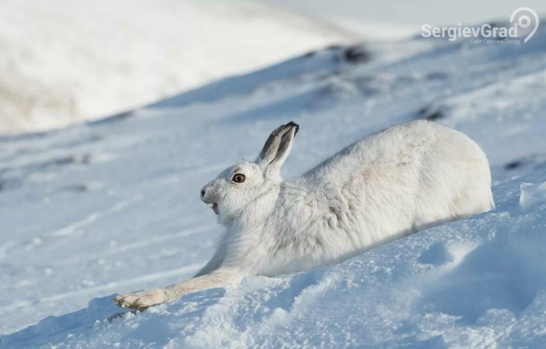 «Серый не поест», удивительное спасение зайца от хищника